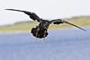 Reven in flight, beak open, wings outstretched, feet down.