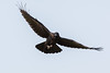 Raven in flight, wings out, wingtips curled up, tail spread, feet partially uncurled.