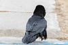 Raven on front porch, chuffed up. Facing away from camera. Body turned.