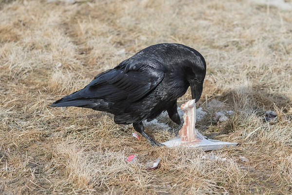 Raven removing meat from package.