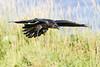 Raven near ground, wings out straight, feet down, beak open.
