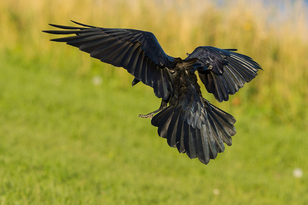 Raven landing on the river bank in Moosonee. From behind, wings out and bent, feet down.