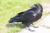Raven on the sidewalk.