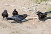 Four ravens, three juveniles and an adult (lower left) near a broken egg on clay surface. Juvenile backs away, mouth open.