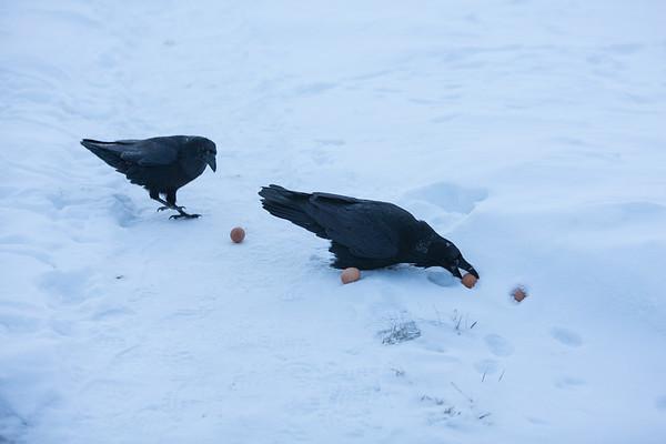 Ravens picking up egs for breakfast. Less dominant raven preparing to sneak egg from behind dominant.