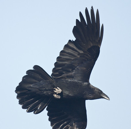 Raven flying, wings outstretched, one wing partly out of frame.