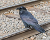 Raven standing on the tracks.