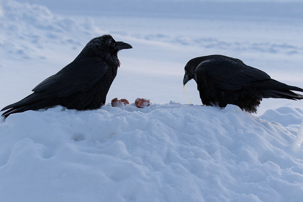 Two ravens enjoying eggs for breakfast.