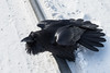 Raven sitting on railway track. Feathers spread.