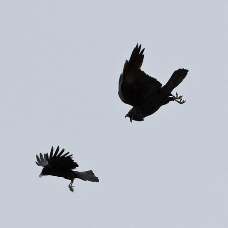 Crow and raven interaction