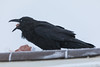 Raven eating ground beef on roof at Keewaytinok Native Legal Services. Nicrating membrane over the eye.