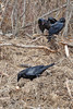 Two juveniles watch an adult raven (foreground) about to eat or take an egg.