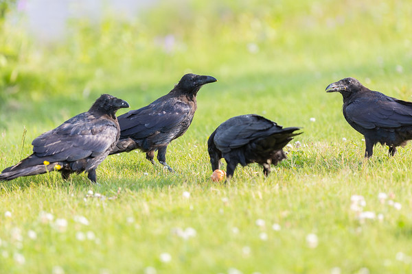 Three juvenile ravens with an adult with an egg.