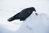 Raven on snowbank examining an egg.