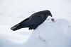 Raven on snowbank examining an egg.