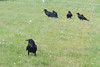 Five ravens on the grass. Adult in foreground, second adult with egg with three juveniles.