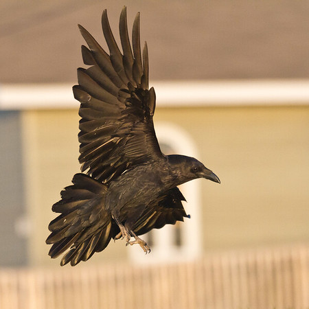 Raven close to ground, one wing up, feet down