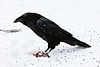 Raven standing on piece of meat, snow falling, looking forward, falling snow in frame.