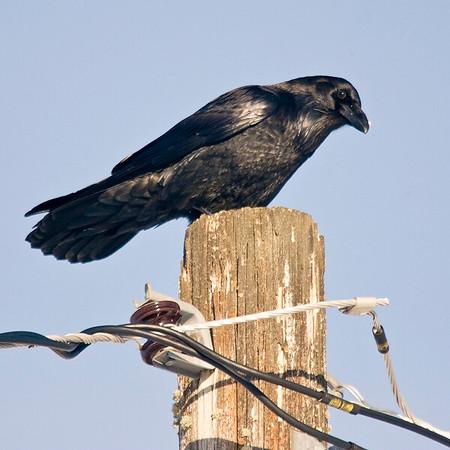 Raven sitting on a utility pole