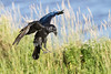 Raven about to land, wings bent, gaze down, beak slightly open, feet down.