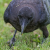 Juvenile raven eating a smashed egg. View from ahead, body out of focus.