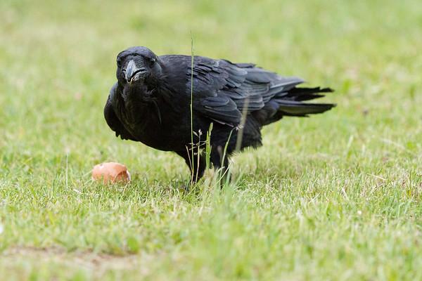 Raven near an egg