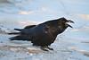 Common Raven on light snow, beak open, calling.
