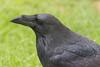 Headshot of raven on the ground.