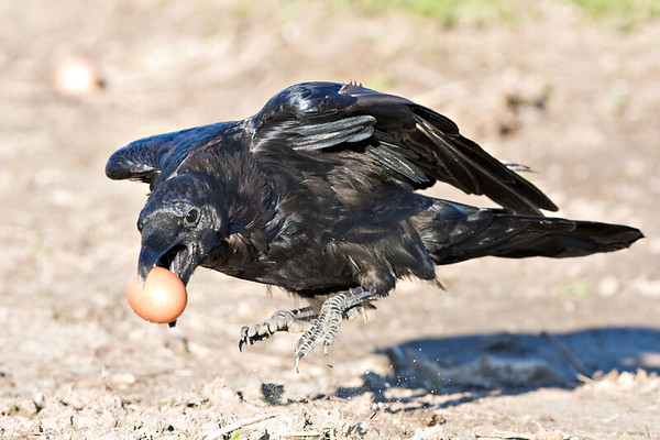 Raven jumping into the air, holding a brown egg in beak.