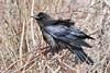 Juvenile raven in brush