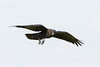 Juvenile raven in flight.