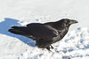 Raven in the snow. Looking up.