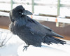 Raven near railway bridge looking over its shoulder.