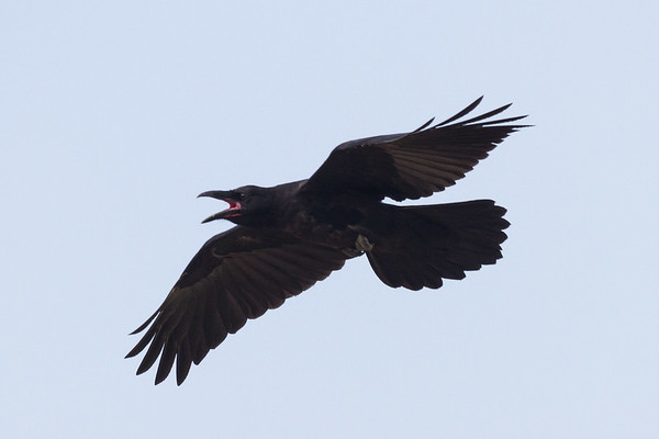 Raven lard preference test-raven in flight, wings out. This is a juvenile, note pink mouth.