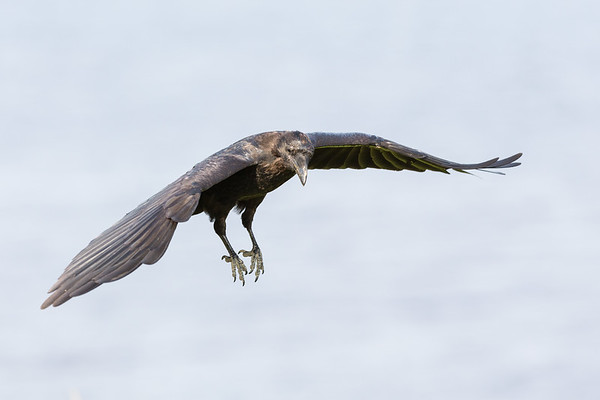 Juvenile raven in flight, one wing down, feet pointing down.
