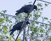Two ravens on six metre band antenna.