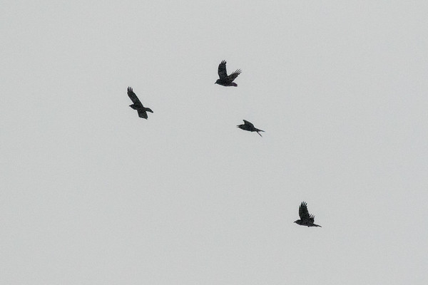 A group of ravens flying above the Moose River at Moosonee.