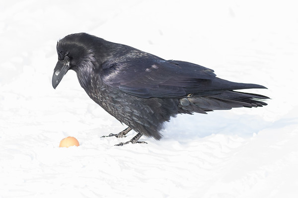 Raven looking at a brown egg on the snow.