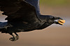 Raven flying, two cookies in beak
