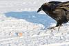 Raven landing to visit a broken egg on the Moose River.