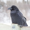 Raven on railing on Store Creek rail bridge in Moosonee. Beak shut.