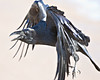 Raven in flight, wings pointing down, side view, feet down, tip of tail out of frame.