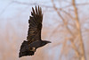 Raven in flight, one wing up