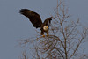 Bald eagle in distant tree, wings up