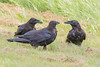 Three ravens, one in foreground is adult, one juvenile has nictating membrane half over eye.