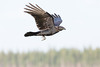 Juvenile raven in flight, wings up.