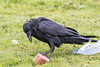On a rainy day a raven prepares to consume a piece of bologna.