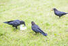 Two ravens by chunk of lard while a third (out of focus) picks up an egg.