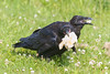 Two juvenile ravens with bread.