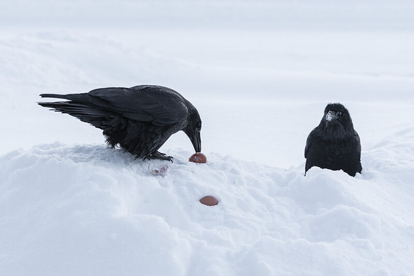 Two ravens, one of them enjoying an egg while the other waits to feed.